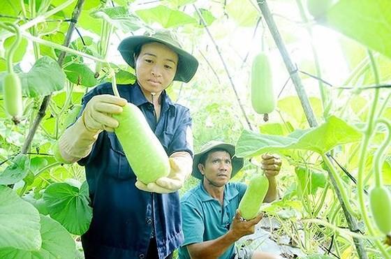 Trồng bầu VietGAP xây dựng nông thôn mới tại huyện Hóc Môn